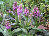 Dactylorhiza maculata     1 Tuber - Aquarium and Pond Plants