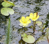 Nymphoides pellata  Yellow floatingheart  Pond Water Plant   3 rhizomes - Aquarium and Pond Plants