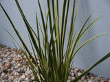Acorus gramineus variegatus  Variegated Slender Sweet Flag    3 stems - Aquarium and Pond Plants
