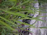 Ranunculus lingua  Buttercup  - 3 rhizomes - Aquarium and Pond Plants
