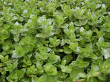 Bacopa amplexicaulis -  Water Hyssop - potted live aquarium plant   1 pot - Aquarium and Pond Plants