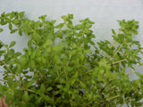 Hemianthus micranthemoides   20 stems - Aquarium and Pond Plants