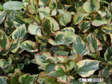 "Houttuynia cordata "" Chameleon ""   - 10 rhizomes - Aquarium and Pond Plants"