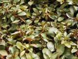 Ludwigia repens  aquarium plant   - 15 stems - Aquarium and Pond Plants