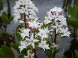 Menyanthes trifoliata Bogbean Buckbean   3 stems - Aquarium and Pond Plants
