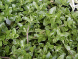 Bacopa amplexicaulis Water Hyssop aquarium plant    15 stems - Aquarium and Pond Plants