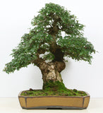 Quercus robur - English oak - Kit  - 5 pre bonsai trees - Aquarium and Pond Plants - 5