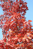 Quercus rubra - Northern Red Oak - Aquarium and Pond Plants