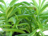 Senecio archeri Himalaya   String of Pearls   3 cuttings - Aquarium and Pond Plants