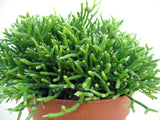 Rhipsalis Mistletoe cactus   3 cuttings - Aquarium and Pond Plants