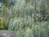 "Salix alba "" Tristis - Golden Willow 3 x cuttings - Aquarium and Pond Plants - 4"