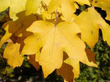 Acer Campestre  Field Maple    10 seeds - Aquarium and Pond Plants - 3