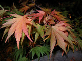 Acer Palmatum   Japanese Maple   10 seeds - Aquarium and Pond Plants - 3