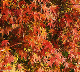 Acer Palmatum   Japanese Maple   10 seeds - Aquarium and Pond Plants