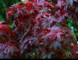 Acer Palmatum  Atropurpureum    10 seeds - Aquarium and Pond Plants