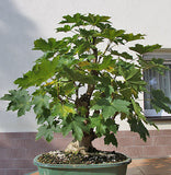 Acer platanoides - Norway Maple - Kit - 5 pre bonsai trees - Aquarium and Pond Plants
