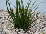 "Acorus gramineus v. "" Pussilus "" Carpet Aquarium Plant   - 5  plants - Aquarium and Pond Plants"
