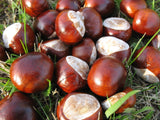 Aesculus hippocastanum Horse chestnut  bonsai tree seeds - 3 conkers - Aquarium and Pond Plants