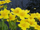 Caltha palustris - Yellow marsh marigold   3 rhizomes - Aquarium and Pond Plants