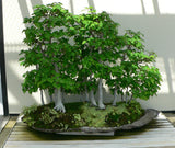 Carpinus betulus  - European Hornbeam - Kit  - 5 pre bonsai trees - Aquarium and Pond Plants - 2
