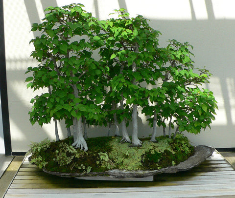 Carpinus betulus  - European Hornbeam - Aquarium and Pond Plants