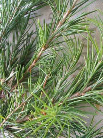 Cedrus Deodara Deodar Cedar  10 seeds - Aquarium and Pond Plants