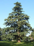 Cedrus Deodara Deodar Cedar  10 seeds - Aquarium and Pond Plants - 4