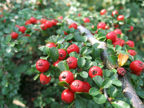 Cotoneaster Divaricata    Spreading Cotoneaster   30 seeds - Aquarium and Pond Plants