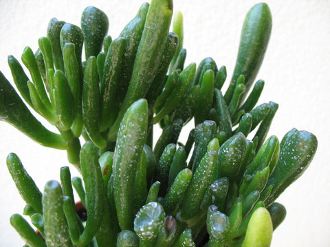 Crassula  ovata convoluta   3 cuttings - Aquarium and Pond Plants