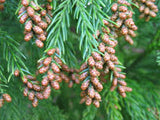 Cryptomeria Japonica     Japanese Cedar   30 seeds - Aquarium and Pond Plants