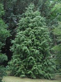 Cunninghamia Lanceolata   China-Fir   10 seeds - Aquarium and Pond Plants