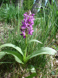 Dactylorhiza majalis   1 Tuber - Aquarium and Pond Plants