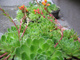 Echeveria elegans   1 plant - Aquarium and Pond Plants