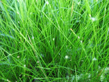 Eleocharis accicularis - Dwarf hairgrass   - 20 stems - Aquarium and Pond Plants