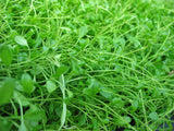 Glossostigma elatinoides   - 1 clump ( 20 stems) of Carpet Aquarium Plants - Aquarium and Pond Plants