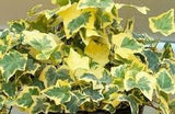 "Hedera helix ""variegata"" - English Ivy ""Variegata"" - Kit  -  9 cuttings - Aquarium and Pond Plants"