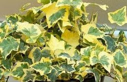 "Hedera helix ""variegata"" - English Ivy ""Variegata"" - Aquarium and Pond Plants"
