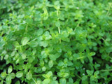 "Hemianthus  thalicroides "" Cuba "" Dwarf Baby Tears  - 1 clump - Aquarium and Pond Plants"