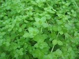 "Hemianthus  thalicroides "" Cuba "" Dwarf Baby Tears  - 1 clump - Aquarium and Pond Plants - 3"