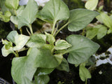 Hottuynia cordata  Heart-leaved Houttuynia  10 rhisomes - Aquarium and Pond Plants