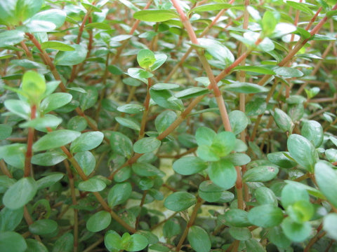 Rotala rotundifolia, Dwarf rotala     15 stems - Aquarium and Pond Plants