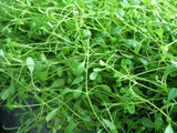 Carpet Aquarium Plants   - 80 stems - Aquarium and Pond Plants