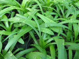 Foreground Aquarium Plants   - 80 stems - Aquarium and Pond Plants - 6