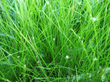 Foreground Aquarium Plants   - 80 stems - Aquarium and Pond Plants - 4