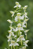 Greater butterfly orchid Platanthera chlorantha hardy orchid bulb - Aquarium and Pond Plants