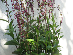 Epipactis artrorubens    Dark-Red Helleborine Hardy orchids - Aquarium and Pond Plants