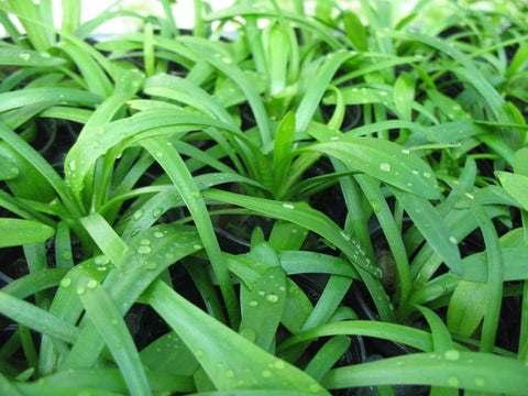 Sagittaria subulata  Dwarf Sagittaria   - 10 plants - Aquarium and Pond Plants