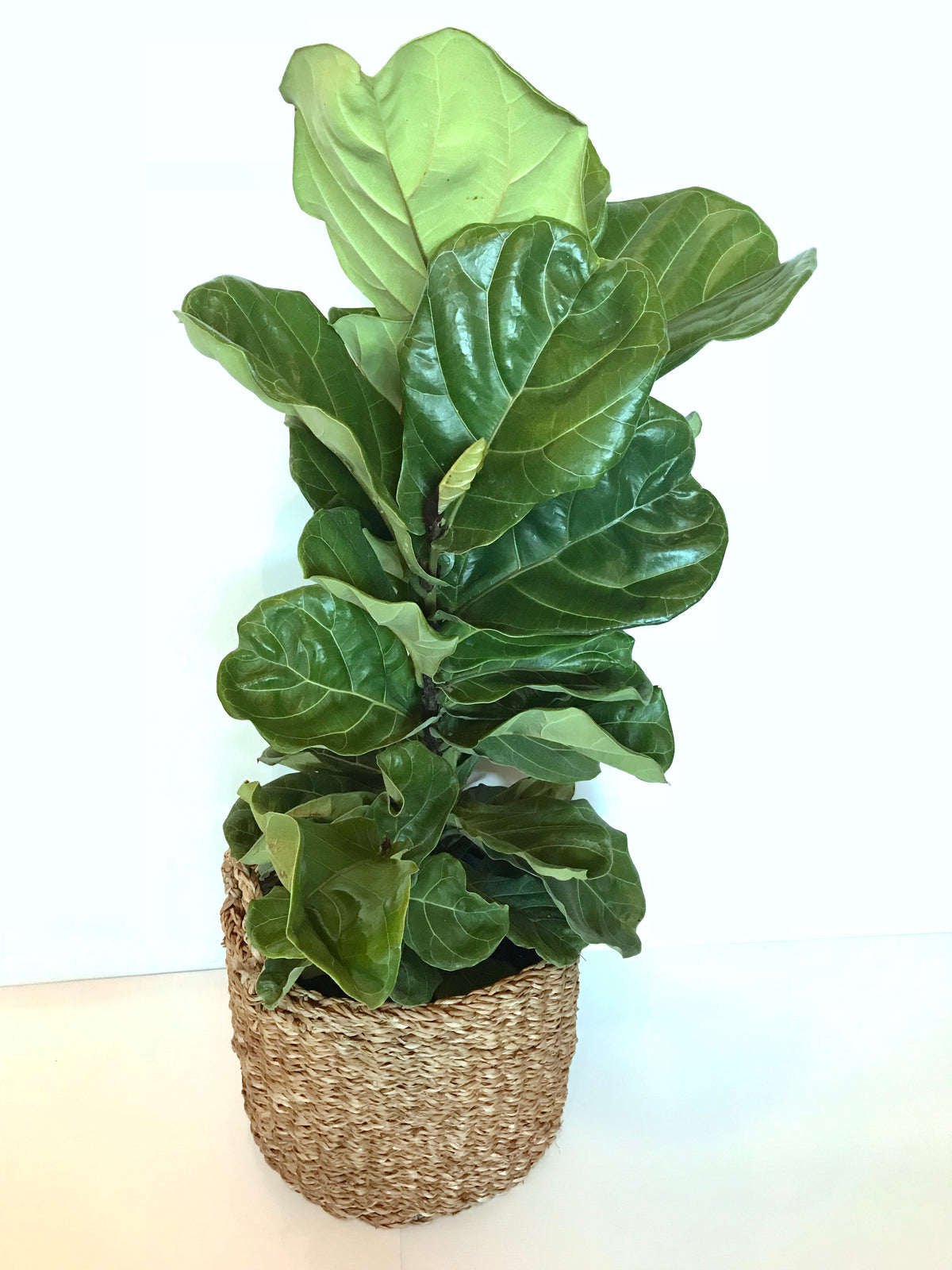 Fiddle Leaf Fig (Floor Plant)