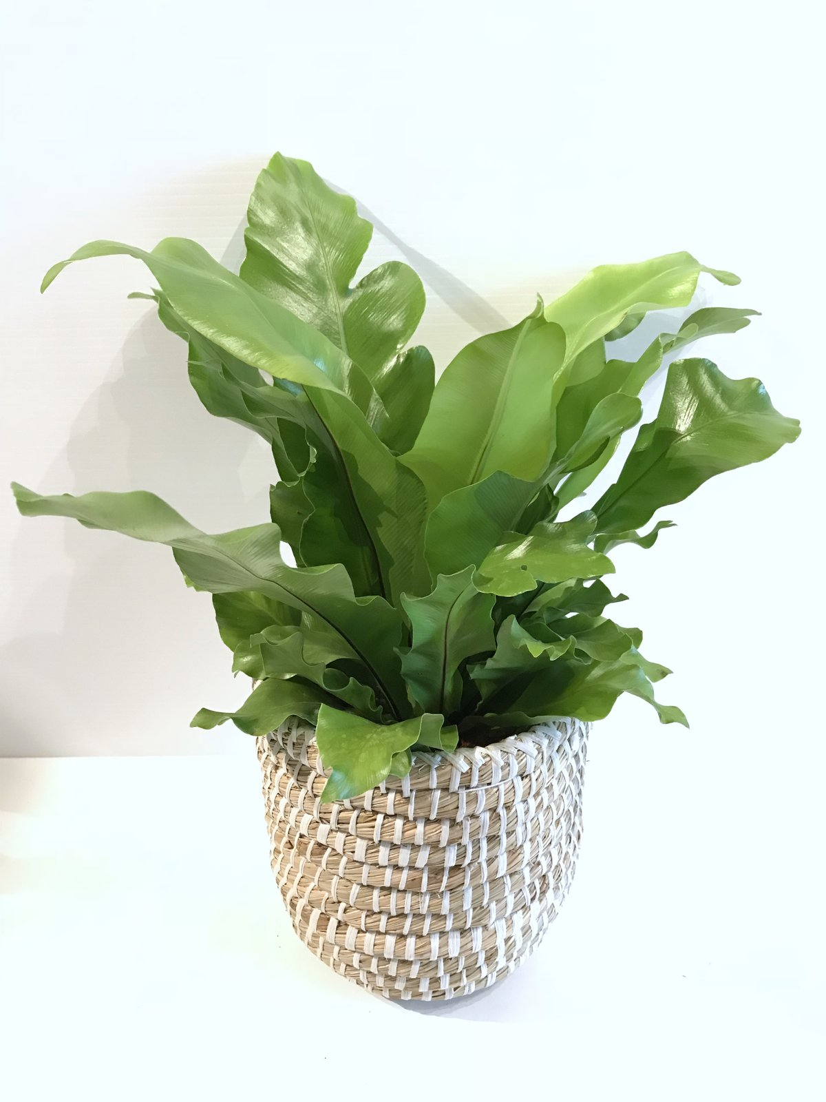 Birds' Nest Fern