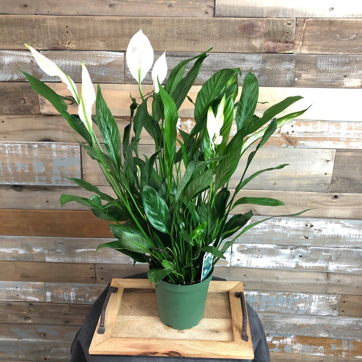 Peace Lily Spathiphyllum  6""